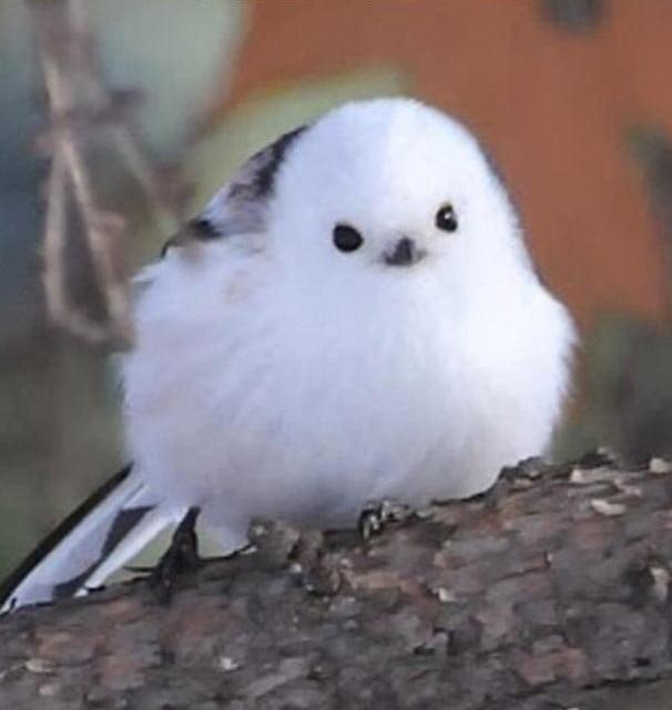 The Korean Crow-Tit looks like a living snowball.