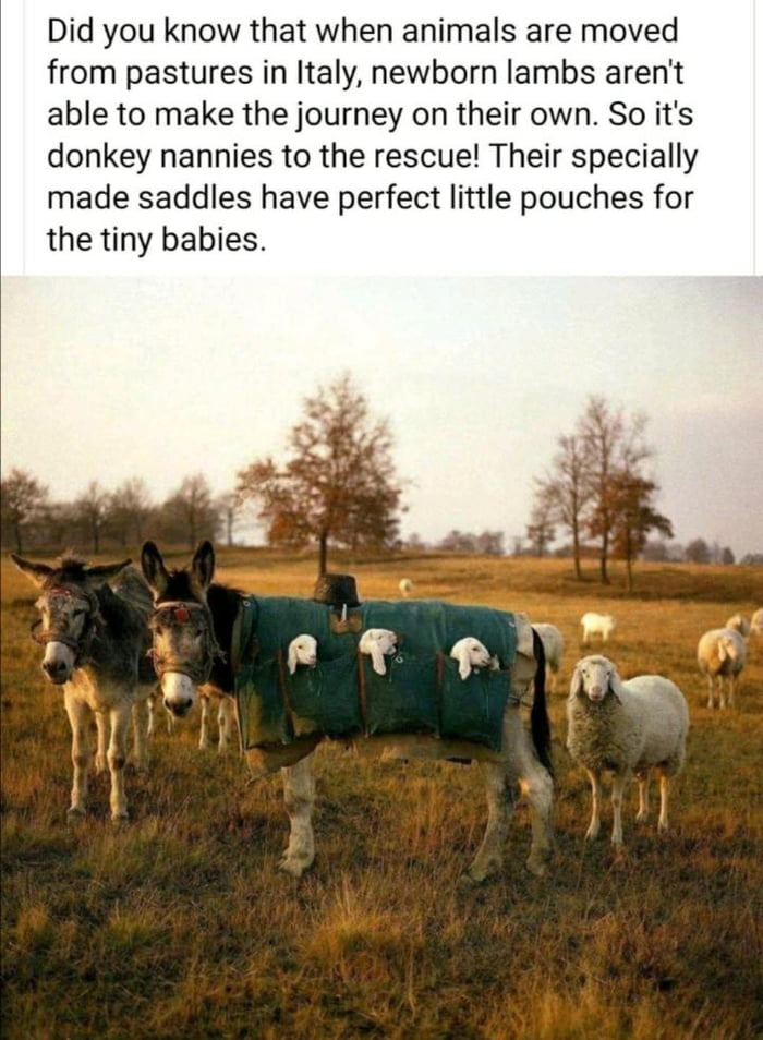 Did you know that when animals are moved from pastures in Italy, newborn lambs aren't able to make the journey on their own. So it's donkey nannies to the rescue! Their specially made saddles have perfect little pouches for the tiny babies.