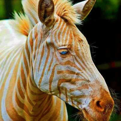 Born in Hawaii Zoe is the only known captive golden zebra in existence