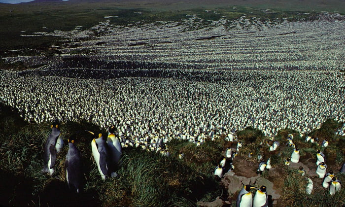 This colony of 200,000 King Penguins.