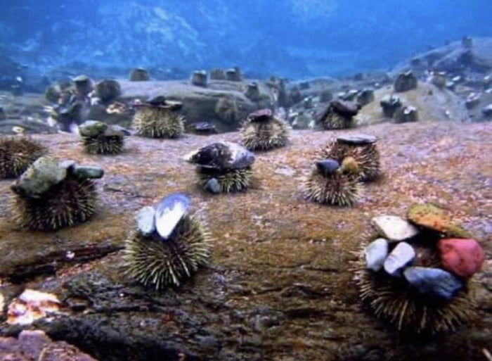 So apparently sea urchins use hats, I give you this information to be used as you see fit.