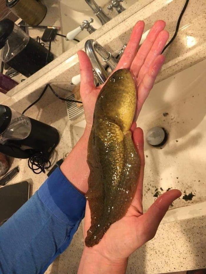 That moment when if you didn't take a picture nobody would have believed you. This bizarre creature was discovered in Arizona, and after closer examination it was actually a 3 year old tadpole that never developed into a frog because a genetic hormonal imbalance.