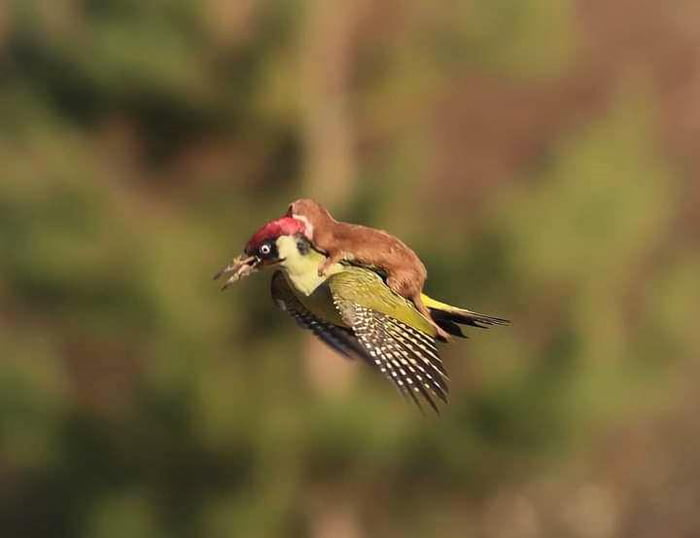An even more impressive photo captures a weasel riding on the back of a flying woodpecker