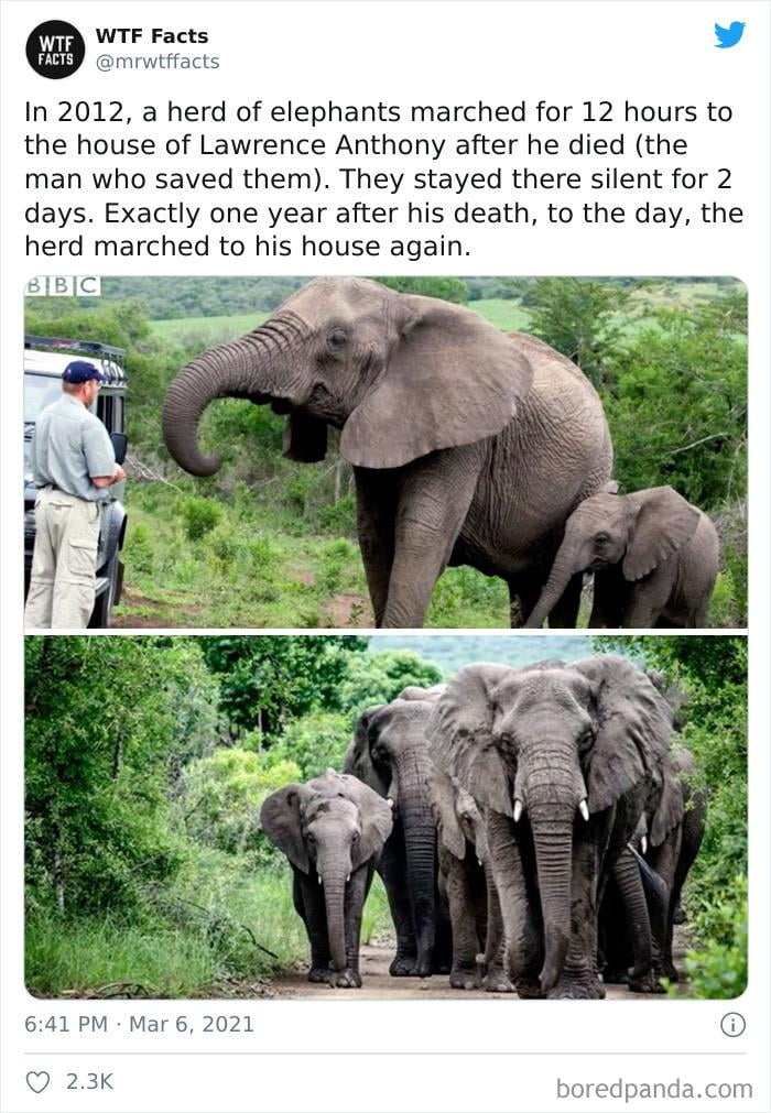 In 2012, a herd of elephants marched for 12 hours to the house of Lawrence Anthony after he died (the man who saved them). They stayed there silent for 2 days. Exactly one year after his death, to the day, the herd marched to his house again.  6:41 PM > Marti, 2021     f7 2.3K
