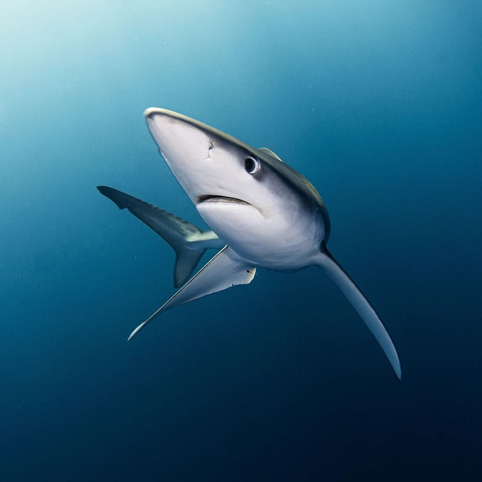 Sharks are mandatory for healthy oceans yet the EU exports around 3500 tons of shark fins each year. In fact Spain is the 2nd biggest shark fin exporter in the world. Please help save sharks by voting for a shark fin trade ban in the EU. Check the comments.