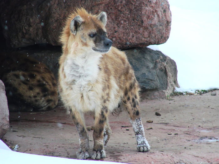 Due to their ancestral range extending far across Eurasia during the Ice Age, Spotted Hyenas have winter coats.