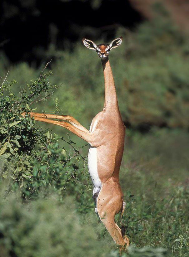 The Gerenuk is is a long necked species of antelope which is often referred to as a giraffe necked antelope. They are an unusual looking creature because their head is rather small but their eyes and ears are big, giving them a very peculiar appearance.