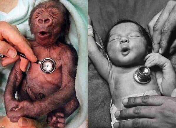 Baby gorilla and baby human reacting to a cold stethoscope the same way